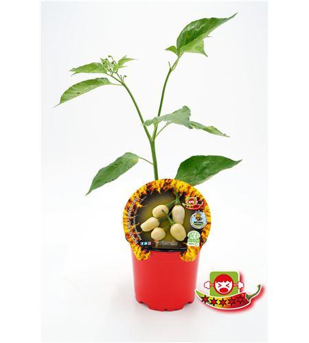 Picante Habanero Blanco M-10,5 Capsicum chinense - 02028010 (1)