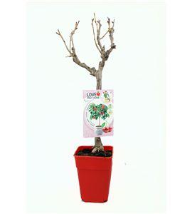 Cerezo Enano Garden Bing 5l - Prunus avium - 03055003 (1)