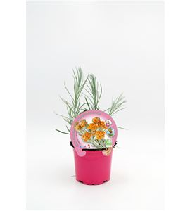 Curry M-10,5 Helichrysum italicum - 02030038 (1)