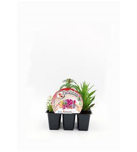 Pack Floralicius Mix I 6 Ud. L. maritima + A. majus + D. chinenis - 02042001 (1)