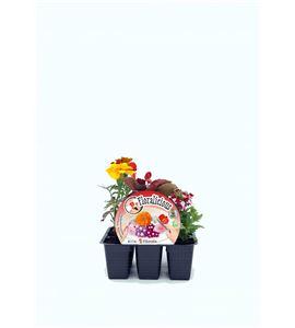 Pack Floralicius Mix II 6 Ud. B. semperflorens + V. hybrida + T. patula - 02042002 (1)