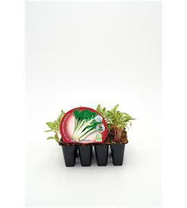 Justo de tamaño Pack Acelga Verde 12 Ud. Beta vulgaris - 02031087 (1)