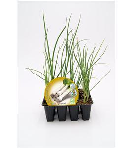 Justo de tamaño ´Pack Puerro 12 Ud. Allium porrum - 02031070 (1)