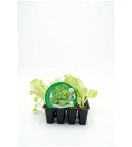 Justo de tamaño Pack Lechuga Trocadero 12 Ud. Lactuca sativa - 02031033 (1)