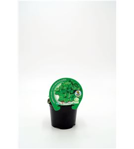 Canónigo M-10,5 Valerianella locusta - 02025049 (1)