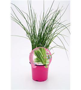 Cebollino M-10,5 Allium schoenoprasum - 02030006 (1)