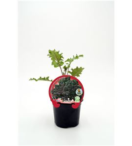 Col Kale Morada M-10,5 Brassica acephala - 02025149 (1)