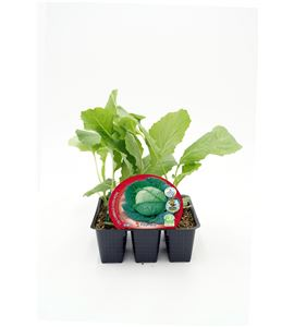 Justo de tamaño. Pack Col Milán 6 Ud. Brassica oleracea var. capitata - 02031038 (1)