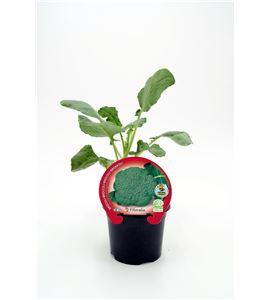 Brócoli M-10,5 Brassica oleracea var. italica - 02025050 (1)