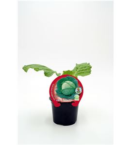 Col de Milán M-10,5 Brassica oleracea var. capitata - 02025053 (1)
