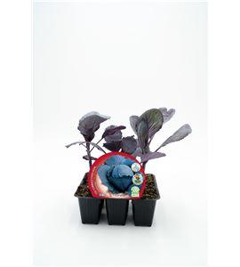 Justo de tamaño Pack Col Lombarda 6 Ud. Brassica oleracea var. capitata - 02031040 (1)