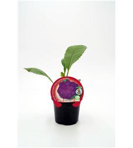 Coliflor Morada M-10,5 Brassica oleracea var. botrytis - 02025101 (1)