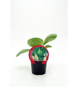 Col Corazón de Buey M-10,5 Brassica oleracea var. capitata - 02025052 (1)