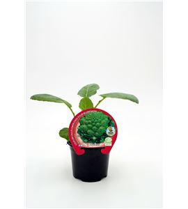 Justo de tamaño. Coliflor Romanesco M-10,5 Brassica oleracea var. botrytis - 02025057 (1)