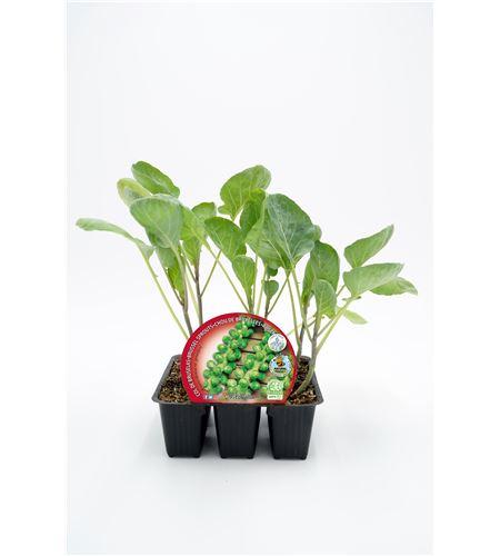 Pack Col Bruselas 6 Ud. Brassica oleracea var. gemmifera - 02031036 (1)