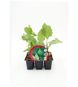 Pack Col Corazón de Buey 6 Ud. Brassica oleracea var. capitata - 02031037 (1)