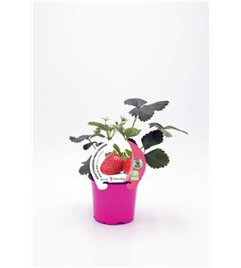 Fresa Mara des Bois M-10,5 Fragaria × ananassa - 02037007 (1)