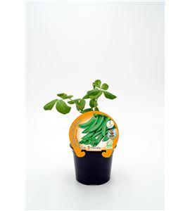 Guisante Super Snap Zuccola M-10,5 Pisum sativum - 02025157 (1)
