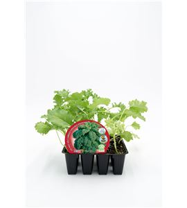 Justo de tamaño Pack Col Kale 12 Ud. Brassica acephala - 02031086 (1)