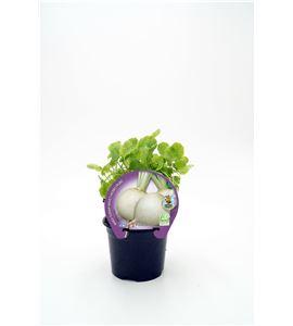 Nabo M-10,5 Brassica rapa - 02025104 (1)