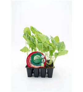 Pack Col Milán 12 Ud. Brassica oleracea var. capitata - 02031005 (1)
