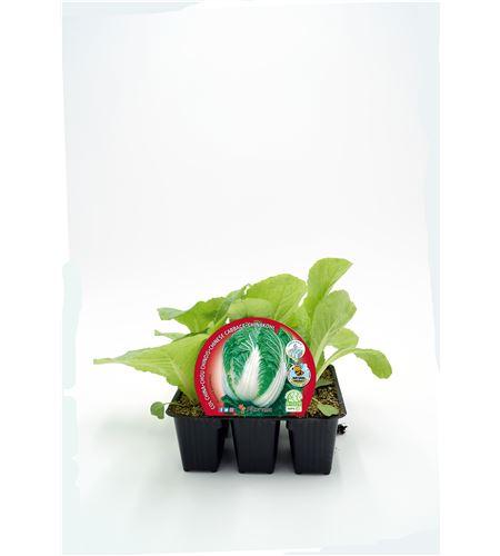 Pack Col China 6 Ud. Brassica pekinensis - 02031041 (1)