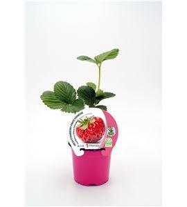 Fresa Framberry M-10,5 Fragaria × ananassa - 02037001 (1)