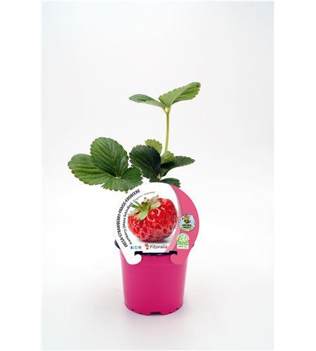 Justo de tamaño. Fresa Framberry M-10,5 Fragaria × ananassa - 02037001 (1)