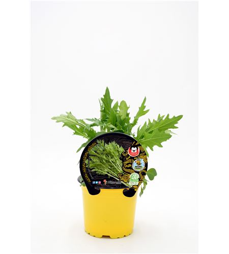 Mizuna M-10,5 Brassica rapa var. japonica - 02027005 (1)