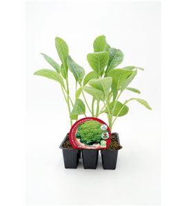 Justo de tamaño. Pack Coliflor Verde 6 Ud. Brassica oleracea var. botrytis - 02031043 (1)