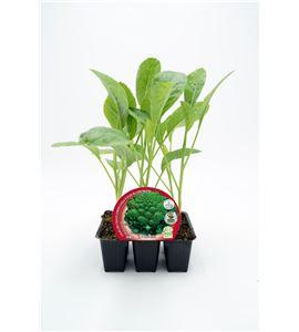 Justo de tamaño Pack Coliflor Romanesco 6 Ud. Brassica oleracea var. botry - 02031044 (1)