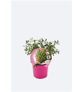 Tomillo Limón M-10,5 Thymus citriodorus - 02030042 (1)