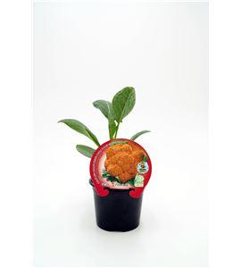 Coliflor Jaffa M-10,5 Brassica oleracea var. botrytis - 02025135 (1)