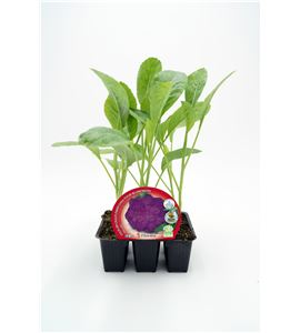Pack Coliflor Morada 6 Ud. Brassica oleracea var. botrytis - 02031073 (1)