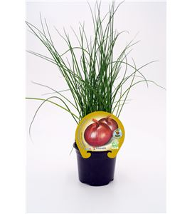 Cebolla Figueras M-10,5 Allium cepa - 02025067 (1)