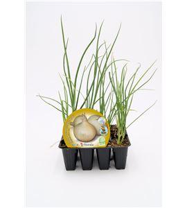 Justo de tamaño Pack Cebolla De Fuentes 12 Ud. Allium cepa - 02031027 (1)