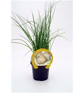 Cebolla Fuentes M-10,5 Allium cepa - 02025068 (1)
