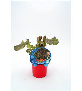 Lechuga Hoja de Roble Navidad M-10,5 Lactuca sativa - 02035001 (1)