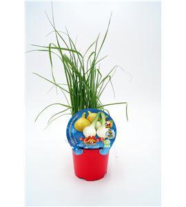 Justo de tamaño Cebolla Babosa Navidad M-10,5 Allium cepa - 02035006 (1)