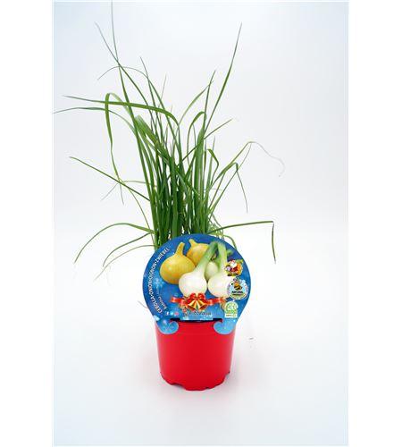 Cebolla Babosa Navidad M-10,5 Allium cepa - 02035006 (1)