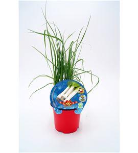 Puerro Navidad M-10,5 Allium porrum - 02035007 (1)