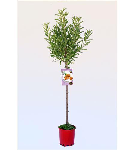 Almendro Marcona M-10,5 - Prunus dulcis - 03054051 (1)