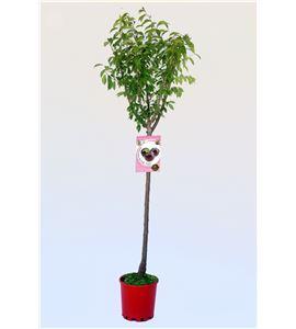 Ciruelo Angeleno M-25 - Prunus domestica - 03054010 (1)