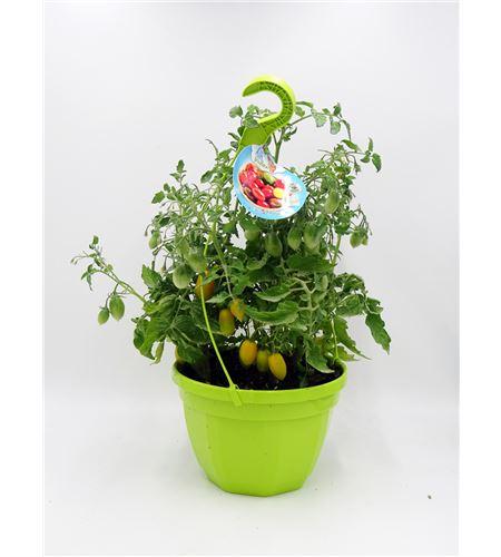 AirGarden Tomate III Solanum lycopersicum - 02044004 (0)