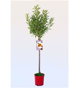Almendro Ferraduel M-25 - Prunus dulcis - 03054049 (1)