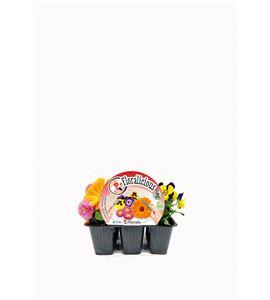 Pack Floralicius Mix III 6 Ud. V. cornuta + C. oficinalis + B. perennis - 02042003 (1)