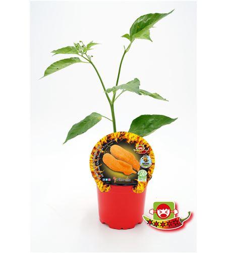 Picante Jay´s Peach Ghost Scorpion M-10,5 Capsicum chinense - 02028023 (1)