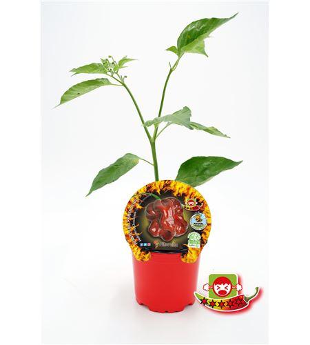 Picante Habanero Chocolate M-10,5 Capsicum chinense - 02028024 (1)