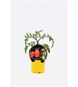 Tomate Pink Thai Egg M-10,5 Solanum lycopersicum - 02027017 (1)