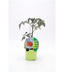 Tomate Injertado F1 Gigantomo M-10,5 Solanum lycopersicum - 02036040 (1)